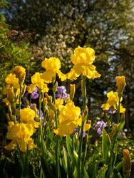 Yellow and Purple Iris Flowers in Bloom in Garden