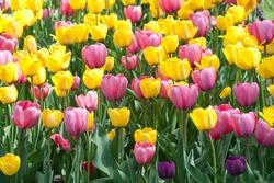 Yellow and purple tulips ablase in Washington Park, Albany, New York