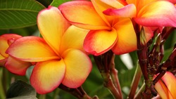 Yellow and red colored of Plumeria flowers, also called Frangipani or Lei Flower, have five petals and fragrant