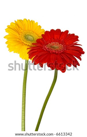 Yellow and red gerberas on white background