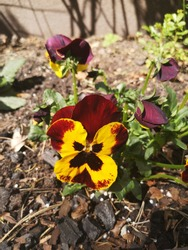 Yellow and red  pansy closeup. Colorful pansy flower with yellow center.