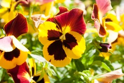 Yellow and Red Pansy flowering