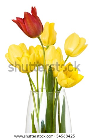 yellow and red tulip flowers isolated with clipping path