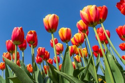 Yellow and red tulips against a blue sky in springtime