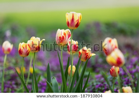 Yellow and Red  Tulips. Bright yellow tulips with red stripes are known as Rembrandt tulips and are named after the Dutch Master artist. These yellow tulips have a soft background of purple and green