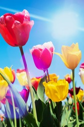 yellow and red tulips with sun rays and flares on a cloudless summer day