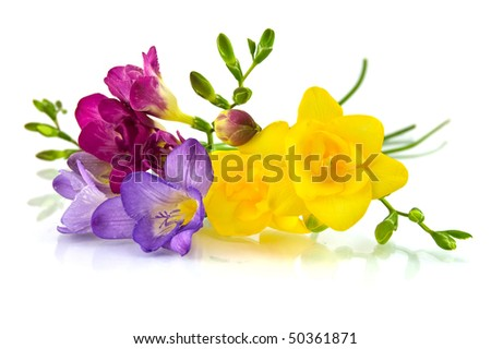 yellow and violet fresia on white