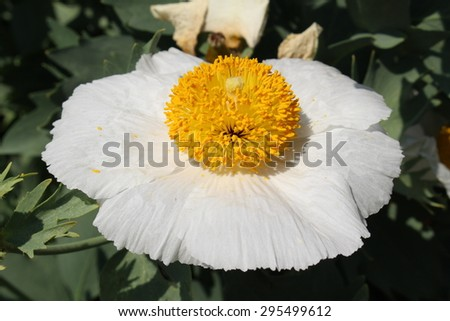 Yellow and white californian tree poppy or coulters matilija yellow and white mightylinksfo