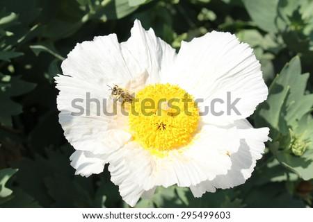 White and yellow anemone flowers ez canvas mightylinksfo