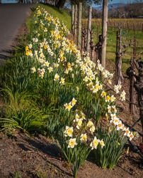 Yellow and white daffodil flowers are growing along the road side and between old growth vines. Green leaves and many blossom.