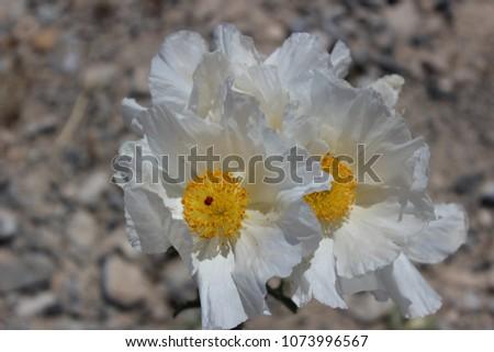 Free Photos White Desert Flower Avopix