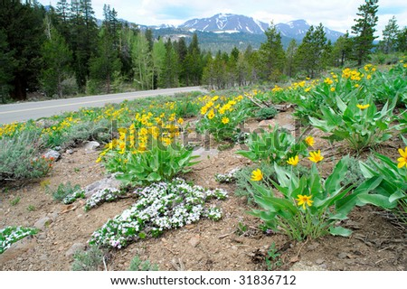 Yellow and white  flowers cover a hillside at springtime in the california sierra nevada mountains