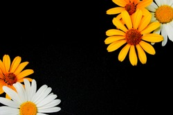 Yellow and white flowers on a black background. Place for your text. Flowers and a dark free area.
