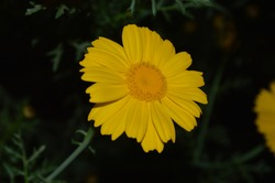 Yellow and white Marguerite daisy