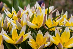 Yellow and white wild forest tulips with green and red leaves and stems. The flowers are full. blurred isolated background.