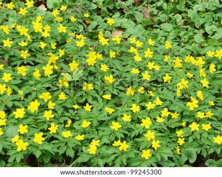 Yellow anemone (or yellow wood anemone or buttercup anemone - Anemone ranunculoides)