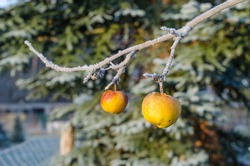 Yellow apples still hanging on a frozen tree branch on a cold winter day in the countryside
