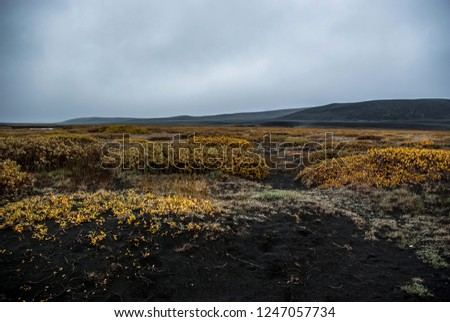 Yellow  arctic tundra flora on the way to  Askja volcano,  black sand desert,  central highlands of Iceland, september #1247057734