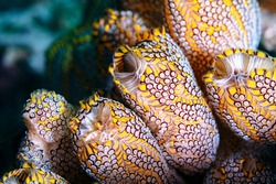 Yellow Ascidians Tunicates or Sea Squirts