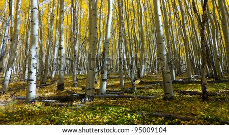 Yellow aspen leaves cover the forest floor in the Colorado Rocky Mountains in Fall.