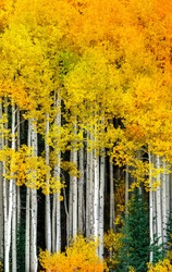 Yellow Aspen Trees in the Autumn