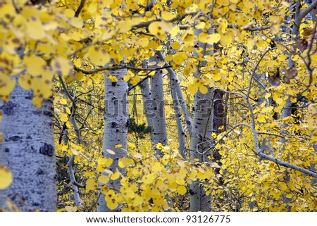 Yellow Autumn Aspen, natural view, Sierra Nevada Range, California