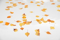 Yellow autumn fallen leaves with water drops on wet white background in rainy weather. Soft focus, shallow DOF.