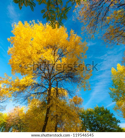 Yellow autumn foliage, locust and poplar trees and blue sky on a bright sunny day
