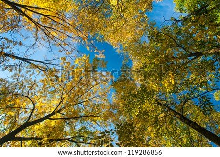 Yellow autumn foliage, locust trees and blue sky on a bright sunny day