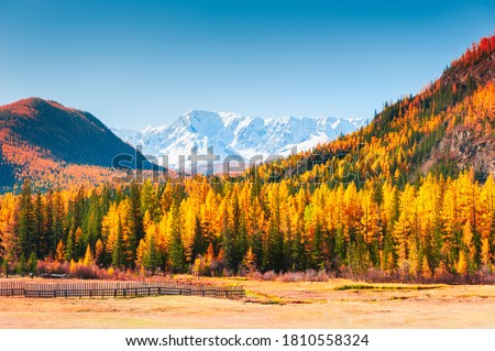 Photo of  Yellow autumn forest and snow-covered mountain peaks in Altai, Siberia, Russia. North-Chuya mountain ridge