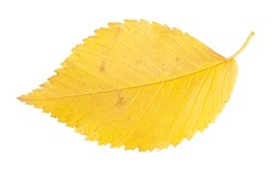 Yellow autumn leaf isolated on a white background