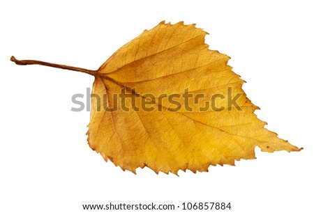 Yellow autumn leaf of a birch isolated on a white background