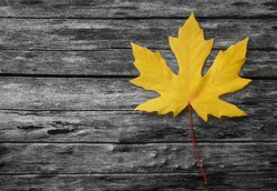 Yellow autumn leaf on black and white background - a single yellow maple leaf resting on a fallen tree trunk in gray tone