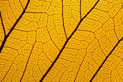 yellow autumn leave background