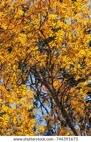 yellow autumn leaves of mountain ash in the wild forest in the sunlight #746391673