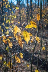 Yellow autumn leaves on thin branches of bushes and young tree seedlings in the forest. Autumn time, leaf fall. Selective focus