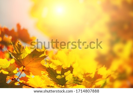 Yellow autumn maple leaves in a forest. Selective focus. Blurred autumn nature background stock photo