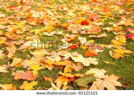 Yellow autumn maple leaves on green grass