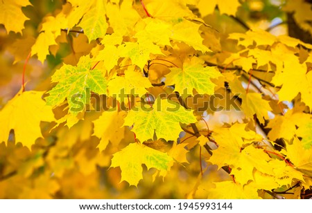 Yellow autumn maple leaves view. Maple leaves in autumn