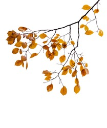 Yellow autumnal leaves on the tree branch isolated on white