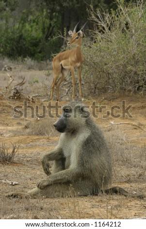 yellow baboon and impala antelope