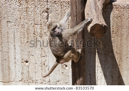 Yellow Baboon (Papio cynocephalus). It is a baboon from de Old World monkey family. It inhabits savannas and light forests in the eastern Africa.