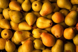 Yellow background with a bunch of ripe pears. Harvest from own garden.