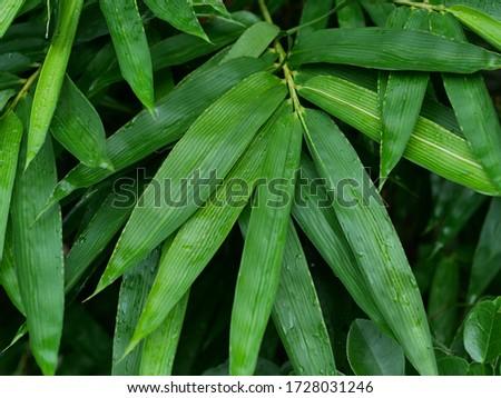 Yellow bamboo leaves (Bambusa vulgaris var. striata) with morning dew after rain Zdjęcia stock ©