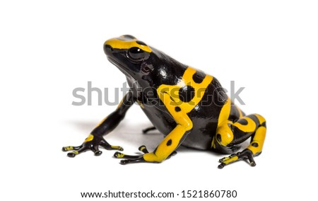 Yellow-banded poison dart frog, Dendrobates leucomelas, in front of white background Stock foto ©