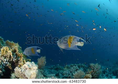 Yellow bar anglefish and coral reef. Red Sea, egypt.