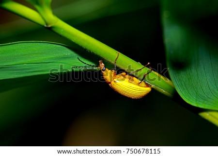 Yellow beetle on leaf #750678115