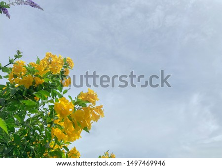 Yellow bell, yellow elder, yellow vine blooming in cloudy sky #1497469946