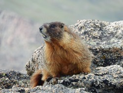 Yellow-bellied marmot  spoofed on a boulder while hiking up mount evans, colorado