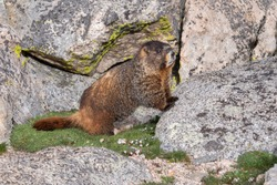 Yellow-bellied Marmot with paws on a rock.
